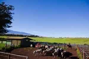 Big Island: Viehzüchter, Cowboys und Ranches